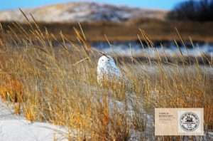 Zoom Background: snowy owl hiding in dune grass
